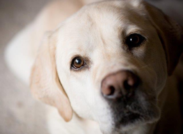 dog-golden-labrador-retriever-muzzle-eyes-nose - Copy